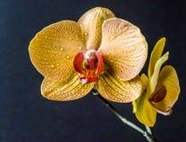 Dendrobium nobile Images libres de droits