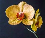 Dendrobium nobile Images stock