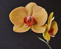Dendrobium nobile Photos libres de droits