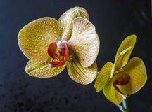 Dendrobium nobile Photos stock