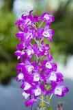 Dendrobium Nobile della sezione. Fotografia Stock Libera da Diritti