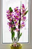 Dendrobium Nobile Violet Orchid davanti alla finestra immagini stock