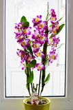 Dendrobium Nobile Violet Orchid in front of window. Dendrobium Nobile Violet Orchid in a green pot in front of window. Bright background Stock Images