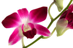 Dendrobium Orchid 2. Close up of an orchid, stem and bud stock photography