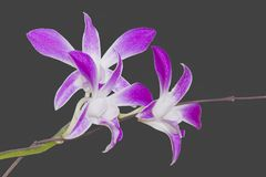 DENDROBIUM ORCHID BICOLOR PURPLE/WHITE ISOLATED BACKGROUND. Dendrobium orchids are available in a wide variety of colors and shades. With each stem containing 8 Stock Images