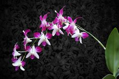 DENDROBIUM ORCHID BICOLOR PURPLE/WHITE. Dendrobium orchids are available in a wide variety of colors and shades. With each stem containing 8-11 useable blooms Royalty Free Stock Image