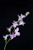 Dendrobium orchid. On black background Stock Photography