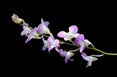 Dendrobium orchid. On black background Royalty Free Stock Photo