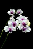 Dendrobium orchid. On black background Stock Image