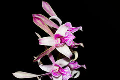Dendrobium orchid on black background Stock Photo