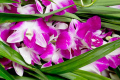 Dendrobium orchid Royalty Free Stock Photos