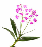 Dendrobium orchid. Exotic orchid dendrobium with little blossoms, isolated Royalty Free Stock Photo