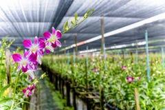 Dendrobium Orchid Farm Stock Photos