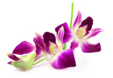 Dendrobium Orchid flower Stock Images