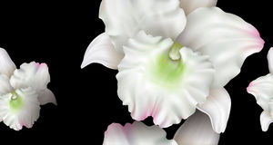 Dendrobium orchid flower background Stock Image
