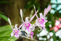 Dendrobium orchid flower Stock Photo