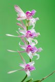 Dendrobium orchid flower Royalty Free Stock Images