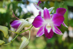 Dendrobium Orchid Flowers. Dendrobium species are either epiphytic, or occasionally lithophytic. They have adapted to a wide variety of habitats, from the high Royalty Free Stock Images