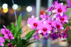 Dendrobium Orchid. Dendrobium is a huge genus of orchids. It was established by Olof Swartz in 1799 and today contains about 1,200 species. The genus occurs in Royalty Free Stock Images