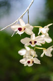 Dendrobium orchid Stock Images