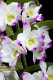 Dendrobium Orchid Hybrids Royalty Free Stock Images
