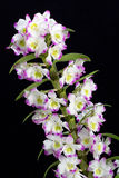 Dendrobium Orchid Hybrids. Royalty Free Stock Photography