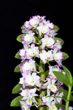Dendrobium Orchid hybrids Royalty Free Stock Photography