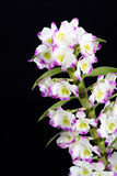 Dendrobium Orchid hybrids. Stock Image