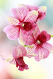 Dendrobium orchid hybrids Royalty Free Stock Photo