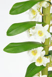 Dendrobium orchid isolated on white Royalty Free Stock Image