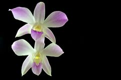 Dendrobium orchid Royalty Free Stock Image