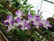 Dendrobium Purple Orchid Stem. A white and purple dendrobium orchid stem growing in green house stock image