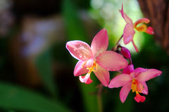 Dendrobium Orchid. In the sunlight Royalty Free Stock Image