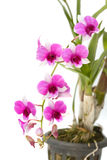 Dendrobium orchid in Thailand Stock Photo