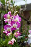 Dendrobium orchid tropics in full bloom. A Dendrobium purple orchid in full bloom Royalty Free Stock Image