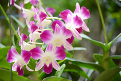 Dendrobium orchidea Obrazy Royalty Free