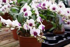 Dendrobium-Orchidee Lizenzfreie Stockfotos