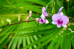 Dendrobium-Orchidee lizenzfreie stockfotografie
