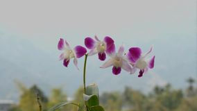 Dendrobium-Orchideen am sonnigen Tag stock video