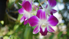 Dendrobium orchidei kwiaty Fotografia Stock