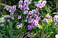 Dendrobium Orchids Royalty Free Stock Images