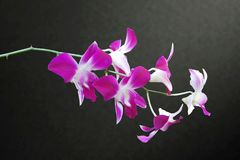 DENDROBIUM ORCHID BICOLOR PURPLE/WHITE ISOLATED BACKGROUND. Dendrobium orchids are available in a wide variety of colors and shades. With each stem containing 8 Stock Image