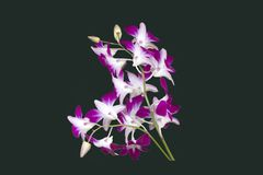 DENDROBIUM ORCHID BICOLOR PURPLE/WHITE ISOLATED BACKGROUND. Dendrobium orchids are available in a wide variety of colors and shades. With each stem containing 8 Stock Photography