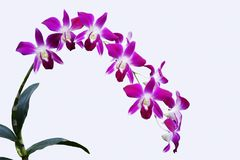 DENDROBIUM ORCHID BICOLOR PURPLE/WHITE ISOLATED BACKGROUND. Dendrobium orchids are available in a wide variety of colors and shades. With each stem containing 8 Stock Photos
