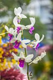 Close up dendrobium orchid in garden. Dendrobium orchids are available in a wide variety of colors and shades. With each stem containing 8-11 useable blooms Royalty Free Stock Photography