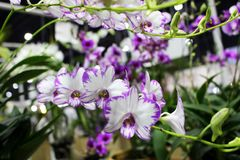 Dendrobium Orchids blooming flower with flower background Stock Image