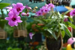 Dendrobium Orchids at The Cornor. Dendrobium orchid is for sale stock photography