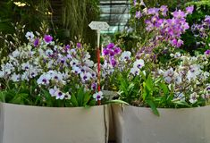 Dendrobium Orchids for Sale. Dendorbirm orchids are sold at 380 in Thai bath stock photos