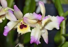 Dendrobium Oriental Paradise Stock Photos