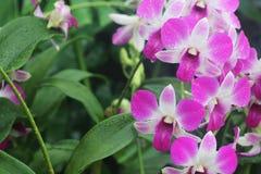 Dendrobium-Oststärke 1 Stockfotos